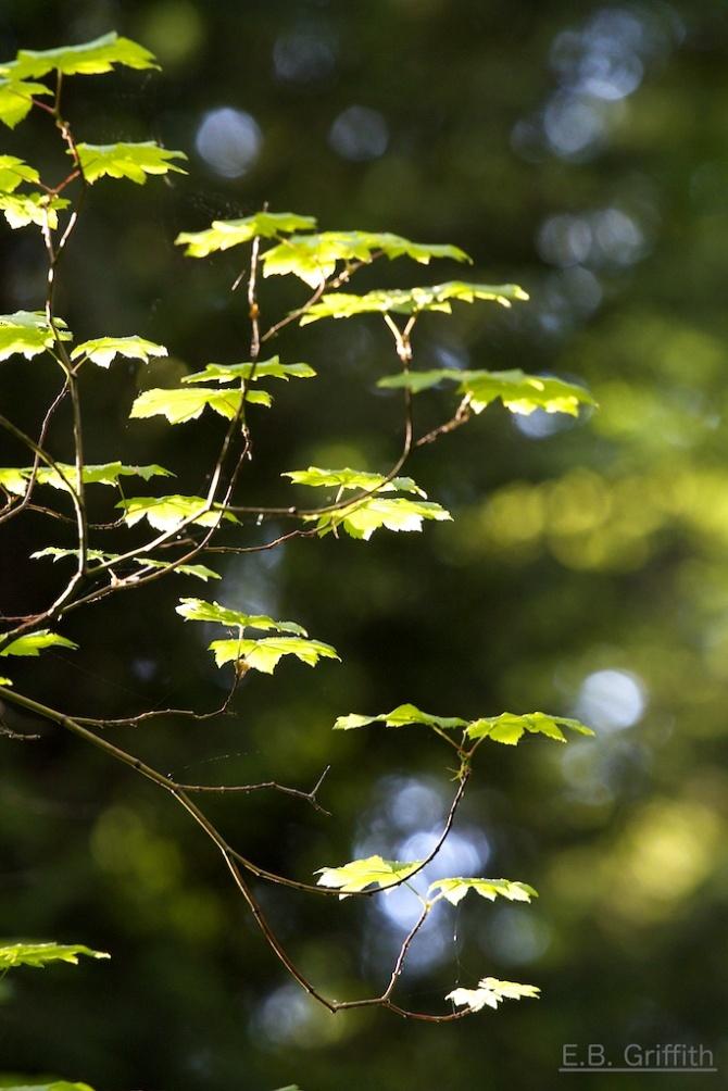 Backlit Leaves 1
